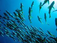 Banco de peces_Parque Nacional Machalilla